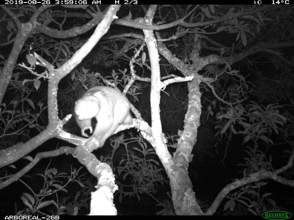Bild på primaten Potto