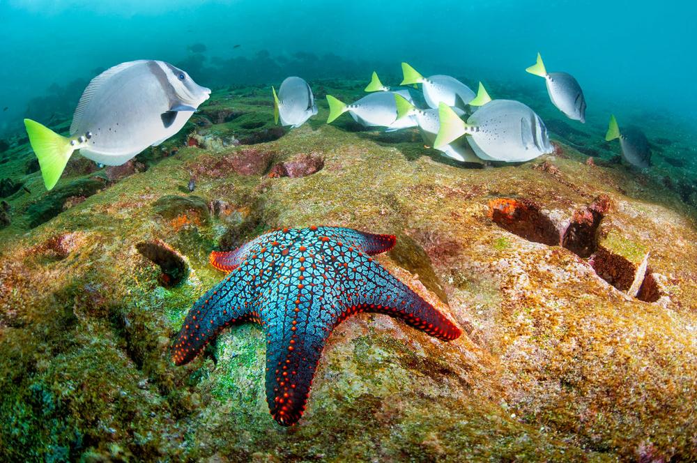Sea star and Razor surgeonfish, Diving in Daphne Menor, Santa Cruz Island, Galapagos, Ecuador © Antonio Busiello / WWF-US